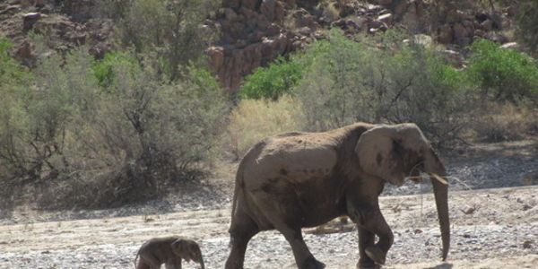 Do not allow trading the Lives of Rare Desert Elephants for political Votes in Namibia!