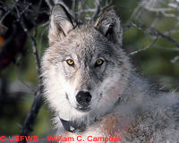 Protect Yellowstone Wolves!
