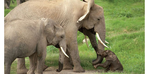 Harsher Penalties for Ivory Smuggling