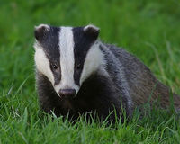 Don't Kill 5,000 Badgers: Stop The Badger Cull