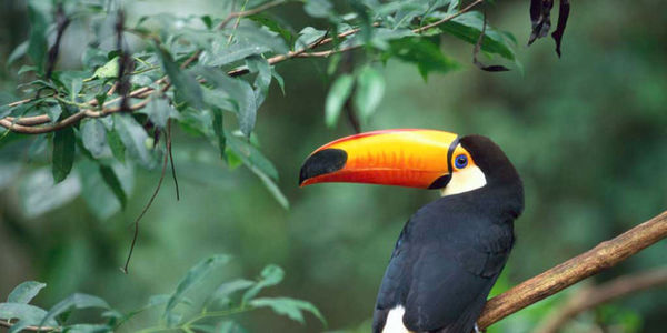 Save The Toucan! Endangered Species Birds