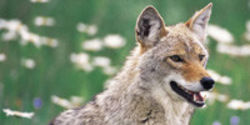 Don't Kill Urban Coyotes, Enact Stronger Urban Planning Instead