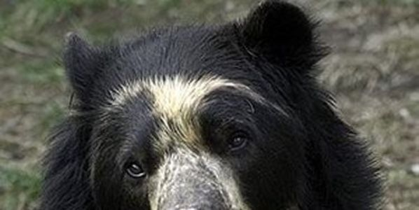Save the Spectacled Bear