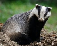 Kill the Cull, Not the Badgers