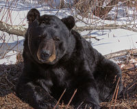 Stop the Wisconson Bear Slaughter