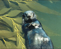 SAVE THE SEA OTTER CRITICALLY ENDANGERED