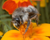 Ask the UK for Stricter Controls Over Bumblebee Imports!