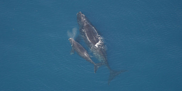 Help Expand Ocean Habitat for North Atlantic Right Whales Before it's too Late!