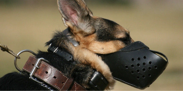 German shepherd with a muzzle
