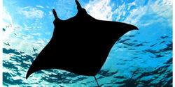 Ban Trade of Manta Rays