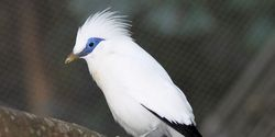 Do not let the Bali Starling become completely extinct. Let us save him !