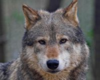 Protect Wolves from Shoot-on-Sight