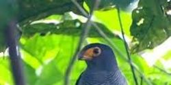 save the Plumbeous Forest Falcon