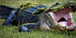 Ban Alligator Hunting In Palm Beach