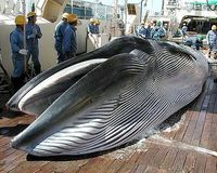 Stop the whale slaughter in South Korea