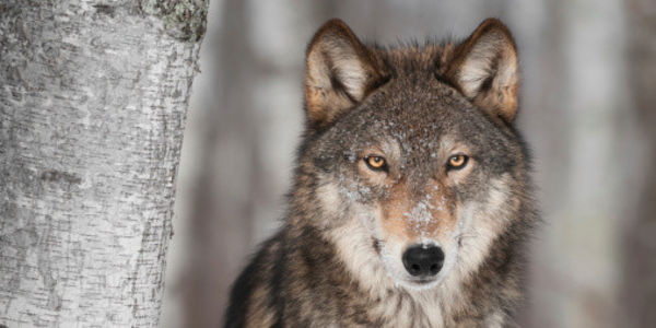 Wisconsin: Stop Making Taxpayers Subsidize Wolf Hounding!