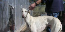 Save our hunting dogs galgos ( greyhounds), podencos, pointers, setters, etc.. in Spain. Salvar a lo
