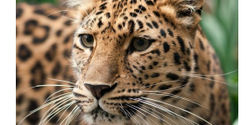 More Protection for Critically Endangered Amur Leopards
