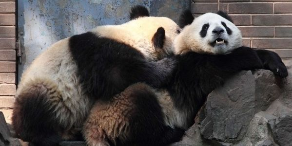 Ask China – Don't Send Pandas to Copenhagen Zoo that Euthanizes Healthy Animals