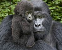 Save the Mountain Gorilla