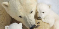 Put the Polar Bear Seas Off-Limits to Oil Drilling