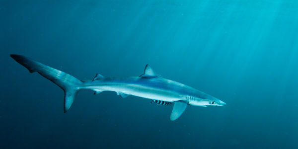 Tell Obama Not to Drop Shark Fin Bans