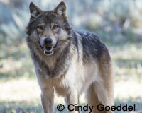 Stop Killing Yellowstone's Wolves!