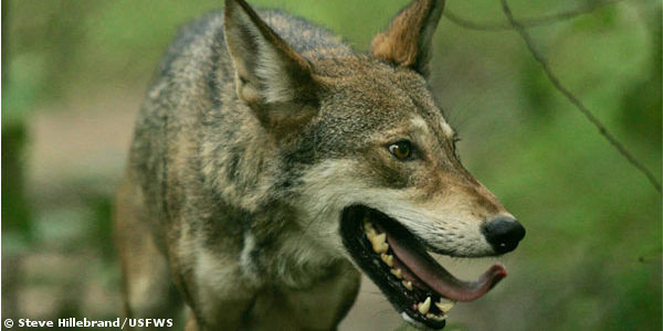 Stand up for Critically Endangered Red Wolves!