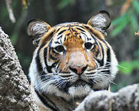 Save the Sumatran Tiger from Extinction