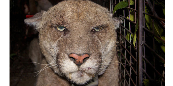 Ask Legislators to Limit Use of Pesticides for Rodents In Areas Frequented by Lions & Wildlife