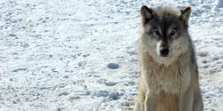 Stop The Slaughter Of Wolves in Michigan Before It Starts!