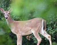 Cranbrook deer slaughter action alert