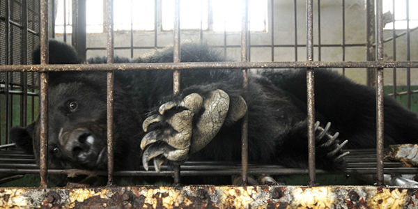End Bear Bile Farming In China