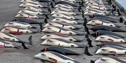 Stop Dolphin Slaughter