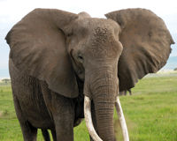 Protect Elephants from Ivory Poaching