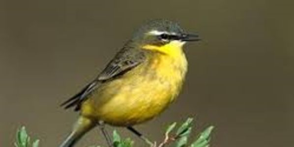 Save the Endangered Yellow Wagtail, ACT NOW!