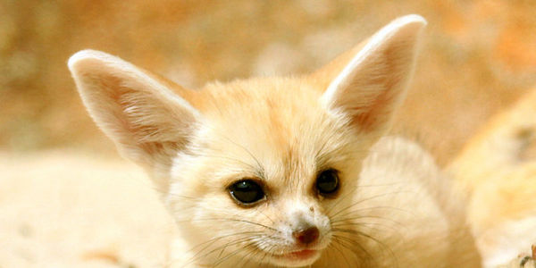 petition fennec foxes cute and tiny with ginormous ears but are