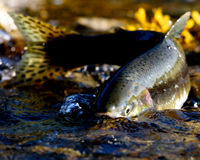 EPA: Protect Bristol Bay's Salmon From Toxic Mine Waste