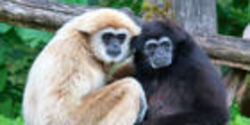 Help Save Critically Endangered Gibbons