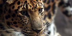 Save The Amur Leopard From The Brink Of Extinction