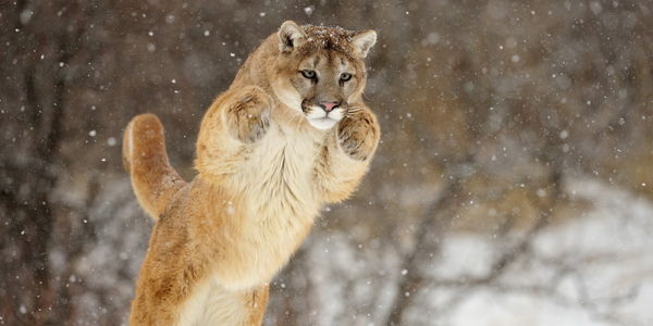 Ban Hunting Mountain Lions in Nebraska