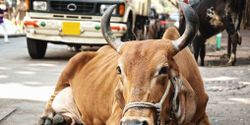Ask India to Ban Dangerous Cattle Drug
