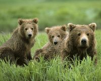 Keep Grizzly Bears Listed as Endangered Species