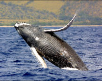 SAVE THE HUMPBACK WHALE