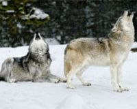 Greater Yellowstone Wolves Delisted - Protest Now!