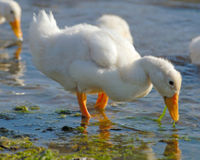 Don't Raise UK Ducks Without Bathing Water!