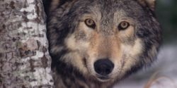 Stop Idaho's Cruel Wolf And Coyote Derby