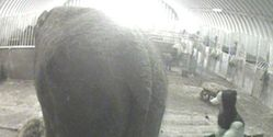 Battered, kicked & stabbed, end the abuse of Britain's last circus elephant.