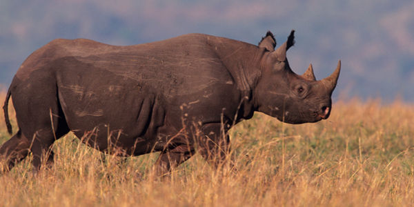 Protect Black Rhinos from Trophy Hunters