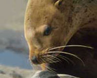 Save The Steller Sea-Lion, Please Sign...